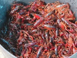 Cangrejo rojo americano (Procambarus Clarkii)
